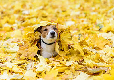 A small dog sits in a pile of autumn leaves