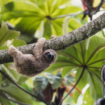 Sloth Observation Am and Visit to the Arenal Nacional Park plus Hotsprings