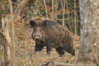 The-game-wild-boar-3