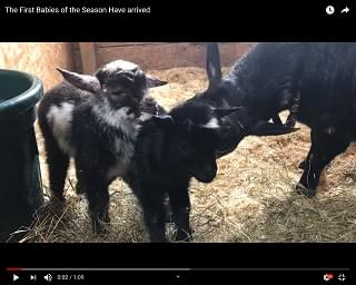 Viral Video: Two Words: Goat Babies