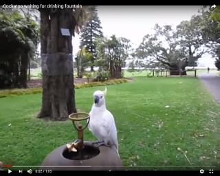 Viral Video: Cockatoo Gets Help At A Water Fountain