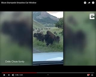 Bison Smashes Rental Car In Yellowstone Park