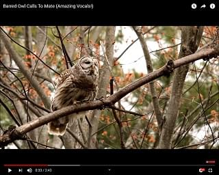 Viral Video: Barred Owl Calls To Mate
