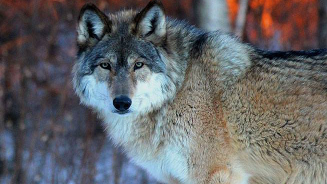 The Future of Wolves Revealed By Expert at The Topeka Zoo