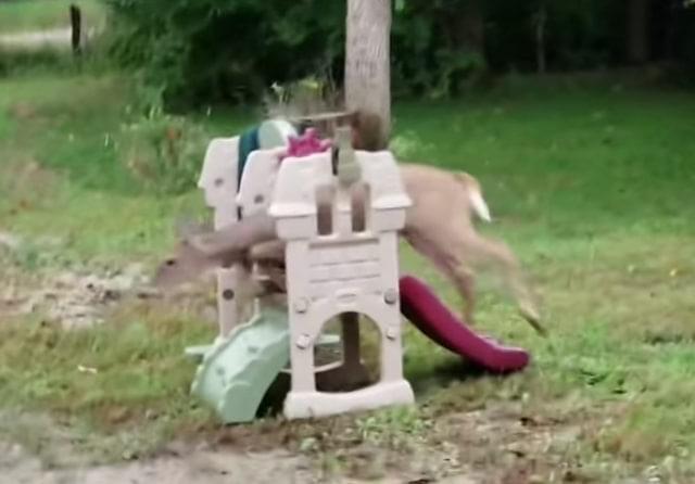 Deer Collins