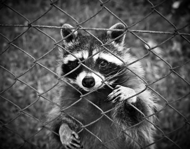 """Police Warn of """"Zombie Raccoons"""" in Illinois"""