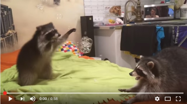 Raccoons Popping Bubbles!
