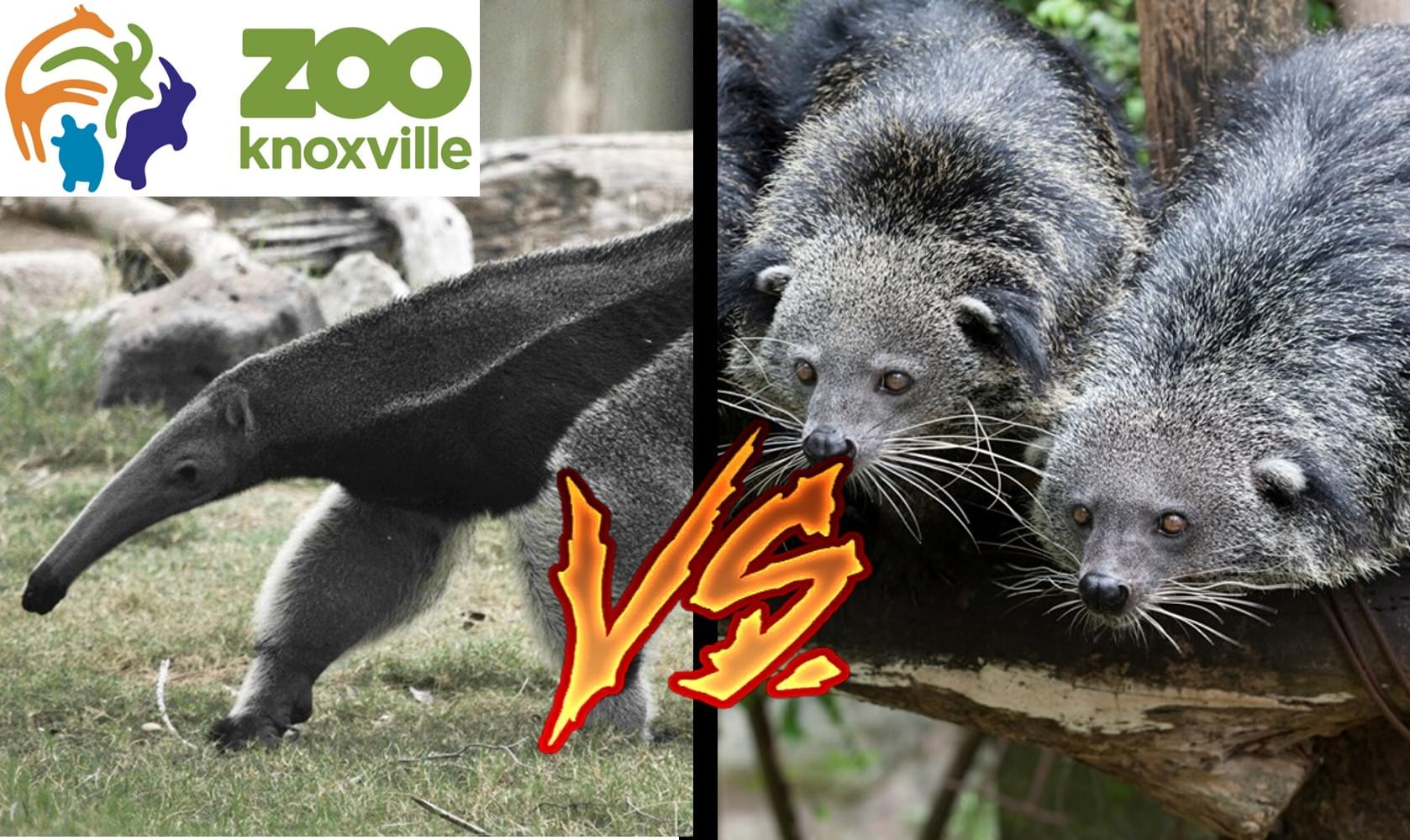 Anteater or Bearcat – Zoo Wants You to Choose!