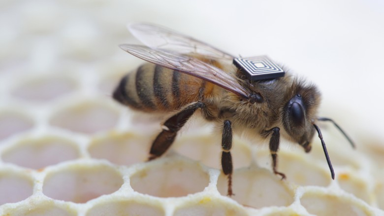 Honey bees with 'backpacks'