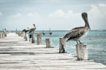 Pelican Waits In Line at Fish & Chips Restaurant