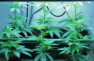 cannabis_growop_sm