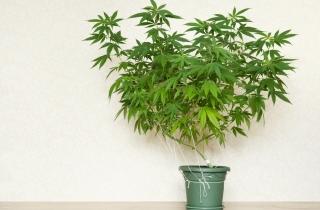 condo_cannabis_sm