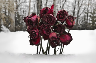 Wilted roses in snow