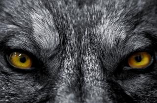 wolf_closeup_sm