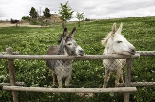 Donkeys on farm