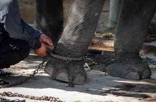 Shackled elephant leg