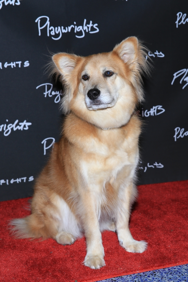 Marti the Dog walks the red carpet at the opening of Rancho Viejo at Playwrights Horizons.