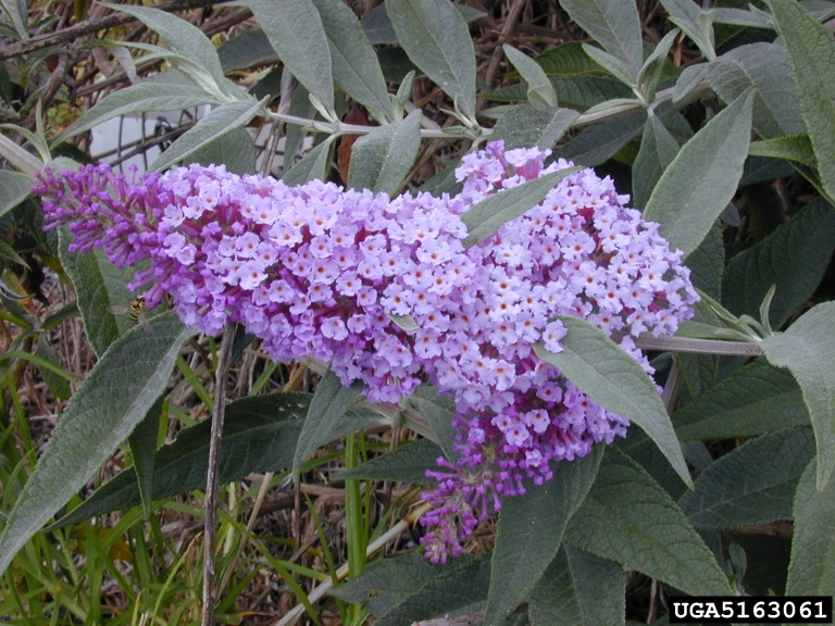 Attractive Plant Details – Tennessee Invasive Plant Council EO38