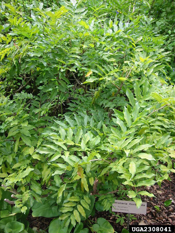 Plant Details Tennessee Invasive Plant Council