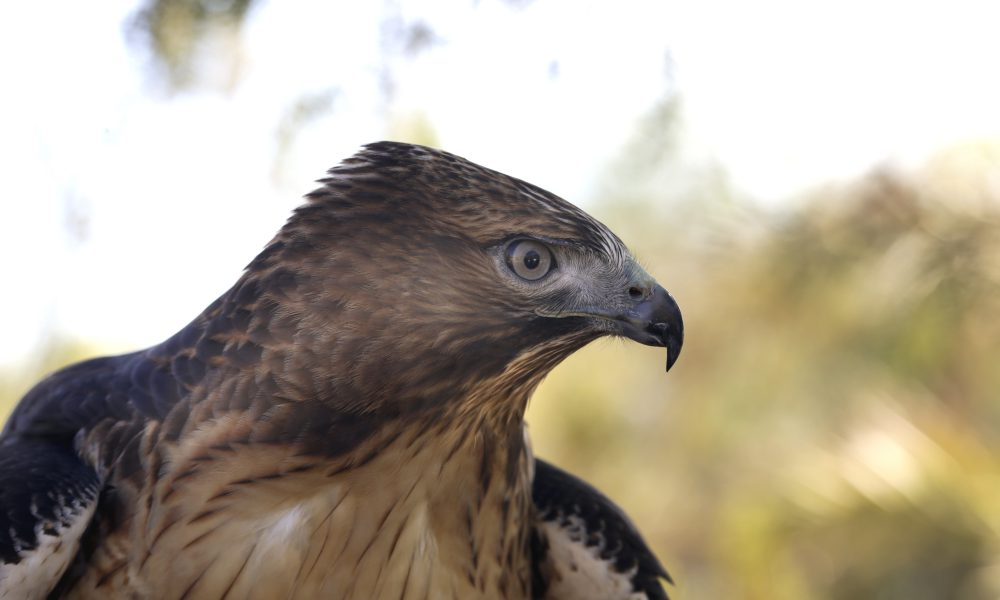 2015 North American Environmental Report – Biodiversity – Red-tailed Hawk 001