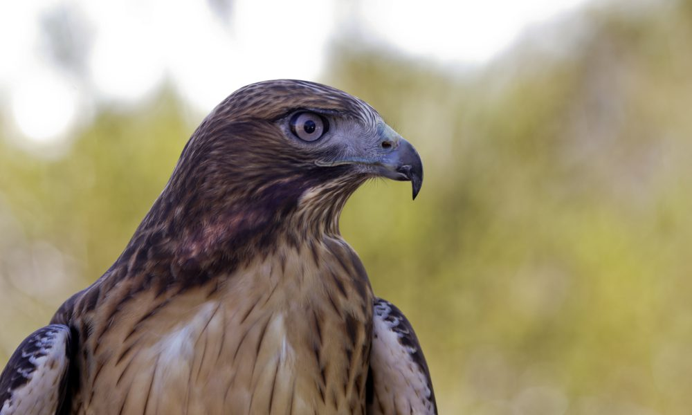 2015 North American Environmental Report – Biodiversity – Red-tailed Hawk 004