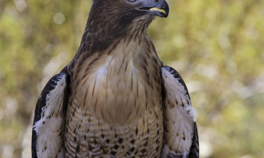 2015 North American Environmental Report – Biodiversity – Red-tailed Hawk 005