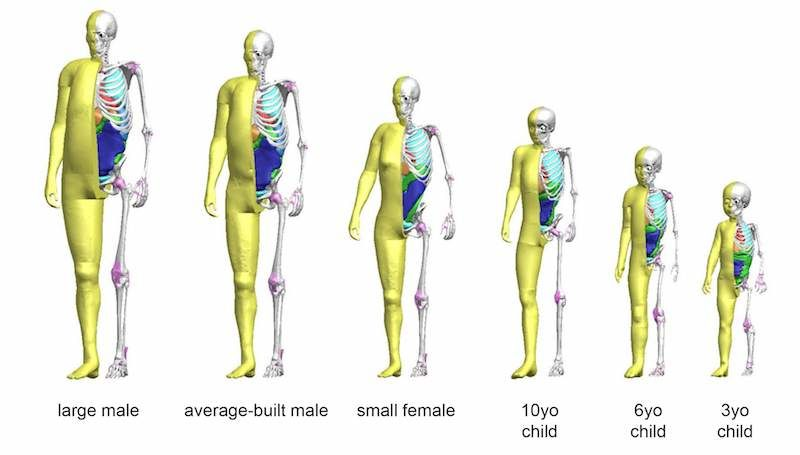 Range of THUMS models from 3 Year Old Child to Average Build Male