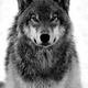 Wolf_Of_Bitrex