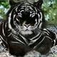 tigersun