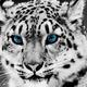 SnowLeopard449892N