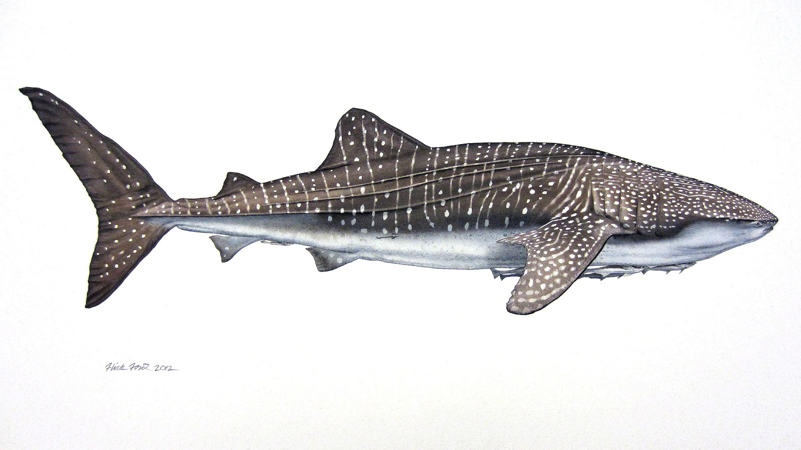 Whale Shark And Remoras Watercolor By Flick Ford Trampt