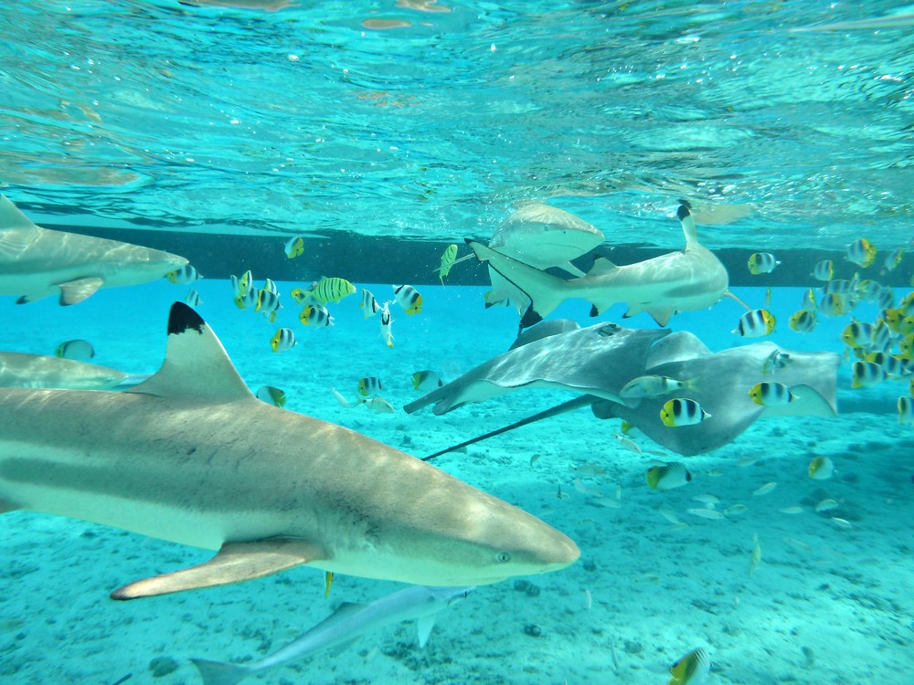 What to do in Bora Bora Shark and Ray Snorkel Safari
