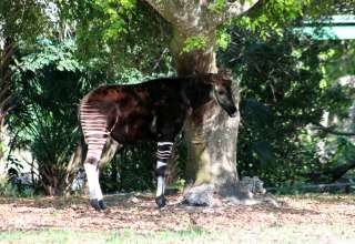 amazing animals okapi