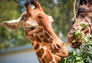 Global Wildlife Celebrates the Birth of a New Baby Giraffe