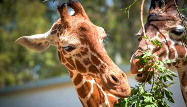 Global Wildlife Celebrates the Birth of a New Baby Giraffe