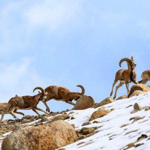 Snow-Leopard-Trek-04