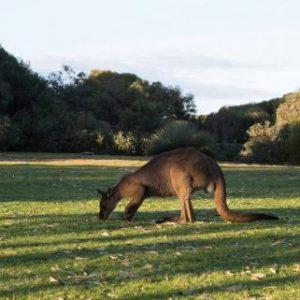 australia_SA_kangaroo-island-kangaroo