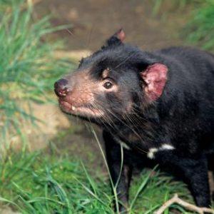 australia_tasmania_tasmanian-devil