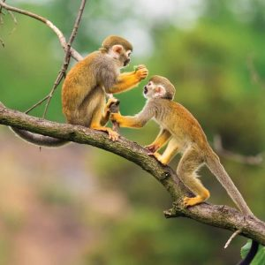 peru_monkeys_jungle_branch