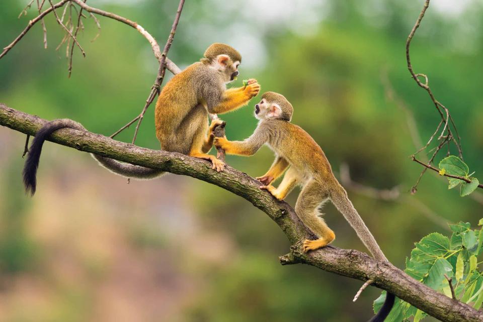 peru_monkeys_jungle_branch