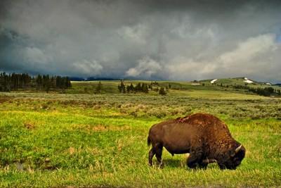 Bison Paddock