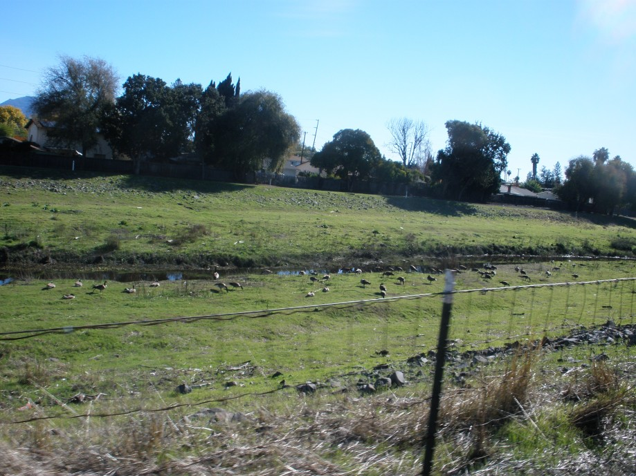 Trip photo #22/26 Favorite spot for geese along Walnut Creek