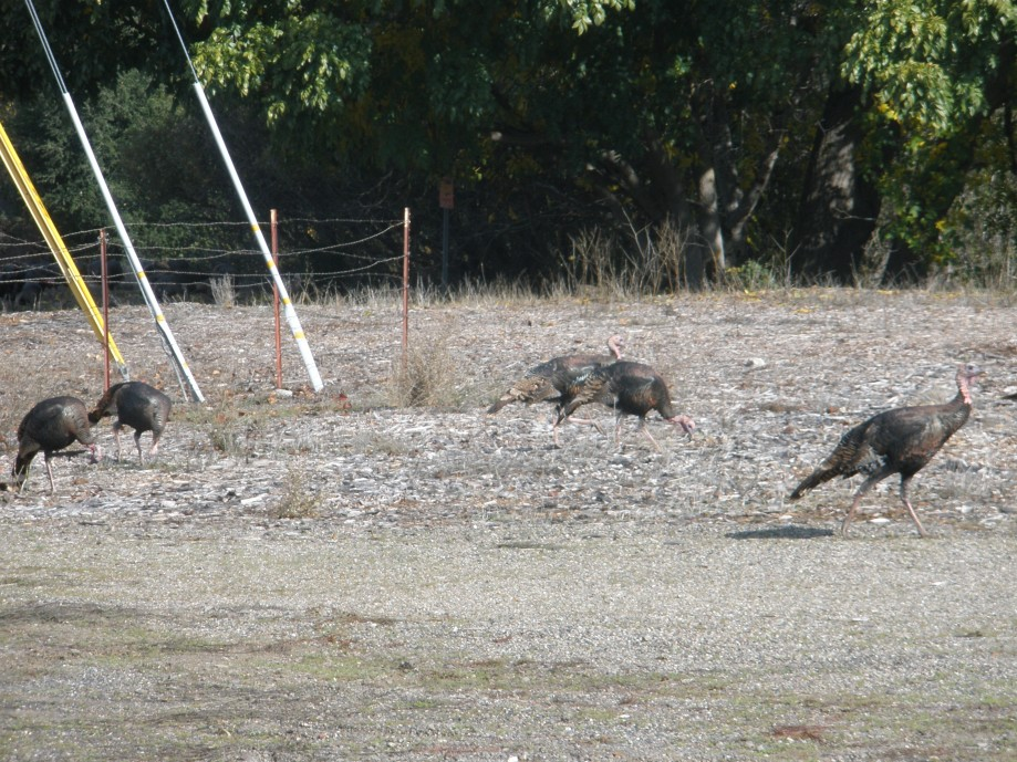 Trip photo #7/10 Lucky turkeys at Highland and Tassajara