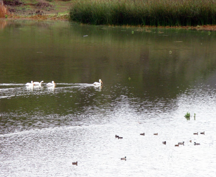 Trip photo #16/32 White pelicans and mallards