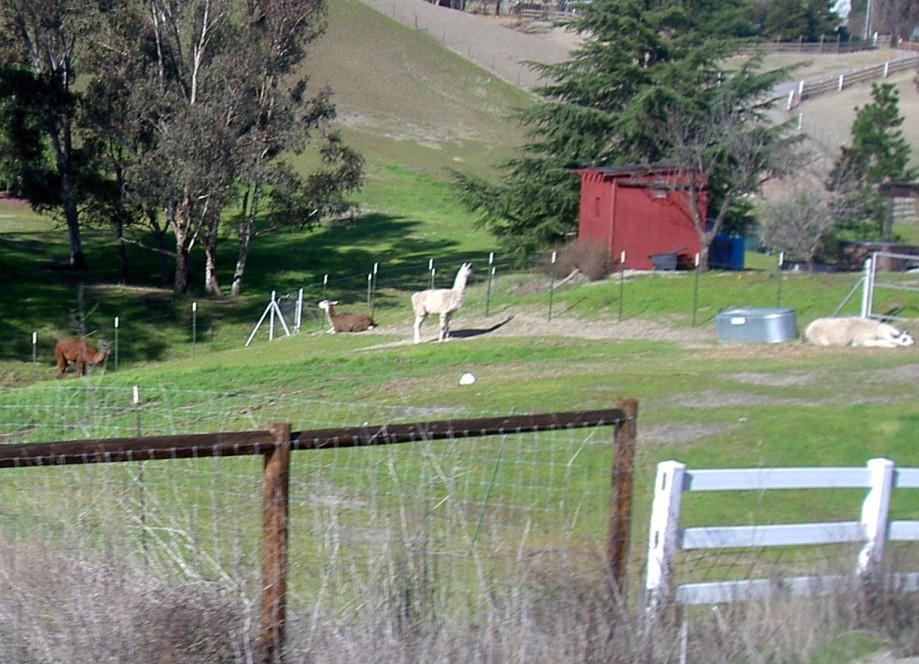 Trip photo #7/16 Llamas/Alpacas on Collier Canyon