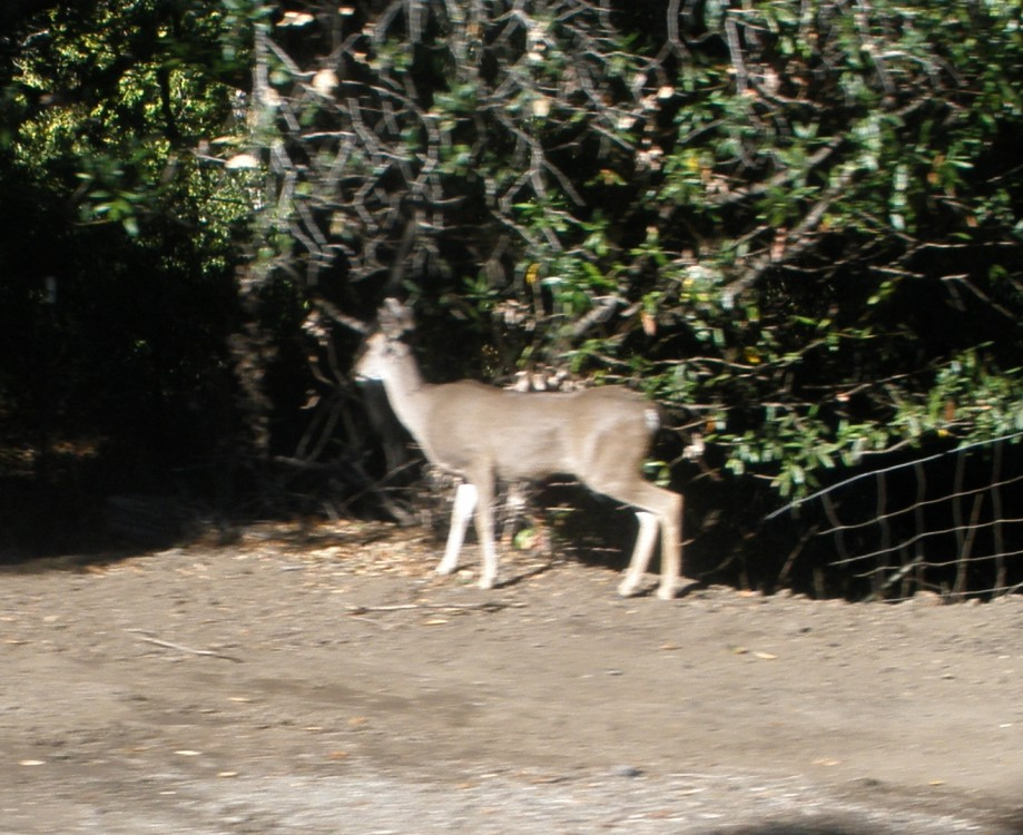 Trip photo #11/16 One of many deer we saw along Cull Canyon