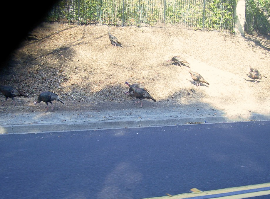Trip photo #5/17 Turkeys along Blackhawk rd.