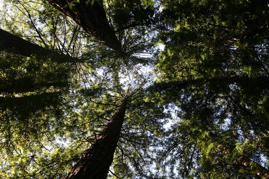 Trip photo #27/45 Standard Look Up at Redwoods View