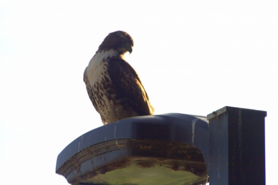 Trip photo #6/19 Red Tailed Hawk