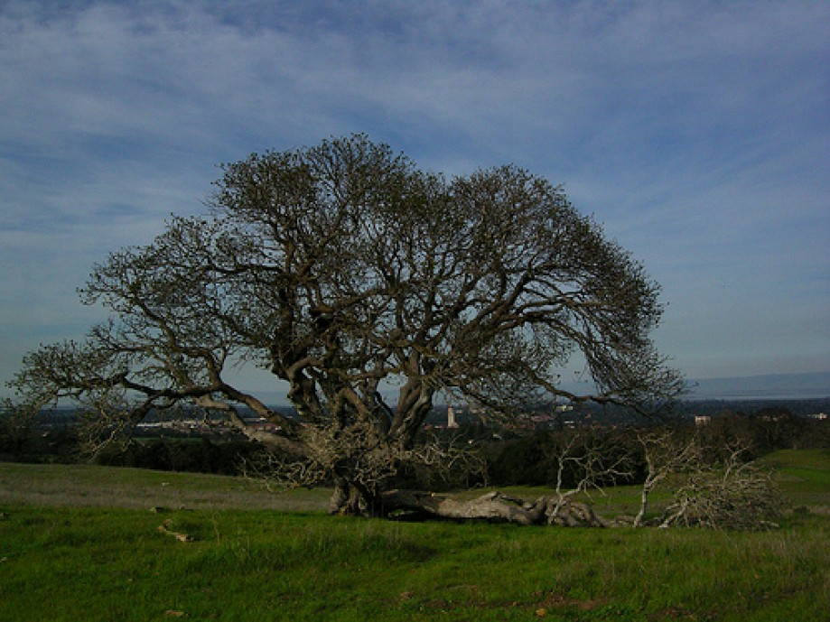 Trip photo #16/34 Live Oak with Hoover Tower in Background